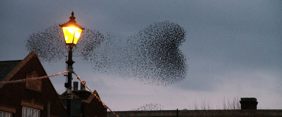 Starling-murmuration-Milo-Bostock