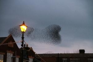 Starling murmuration -Milo Bostock
